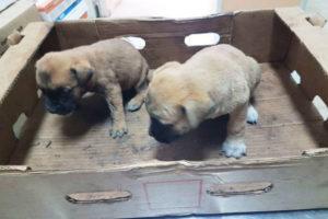 Cuccioli molossoide abbandonati salvati dalla polizia nel Vibonese