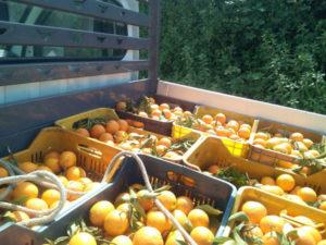 Agricoltura: Coldiretti, vola il prezzo delle arance da industria