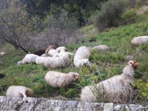 Gregge al pascolo nel castello normanno, pastore denunciato