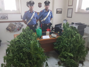 Droga: 24enne arrestato dai carabinieri mentre annaffia piante Marijuana