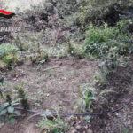 Droga:scoperta piantagione,10mila piante di cannabis nel Vibonese