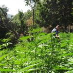 Droga: piantagione dal valore di 10 mln sequestrata nel Reggino