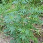Droga: piantagione scoperta da Gdf nel Catanzarese, due denunce
