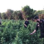 Droga: 1.080 piante di marijuana scoperte dai Cc nel Vibonese