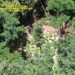 Droga: piantagione nel Vibonese, avrebbe fruttato 500.000 euro