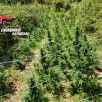 Droga: piantagione canapa scoperta a Marcellinara, tre denunce