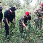 Droga: mega deposito con piantagione rinvenuto a Nicotera