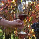 Vino: Coldiretti Calabria, iniziata vendemmia e buona qualità