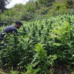 Droga:scoperta e distrutta piantagione di cannabis in Aspromonte