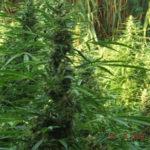 Droga: piantagione marijuana sequestrata nel Crotonese