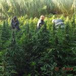 Droga: sequestro piantagioni in Calabria, 'affare' da 36 mln