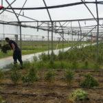 Droga: scoperta piantagione canapa indiana tra Lamezia e Curinga