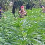 Droga: scoperte 5 coltivazioni canapa indiana nel Vibonese