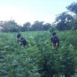 Droga: maxi piantagione scoperta in Calabria, valore 3 mln