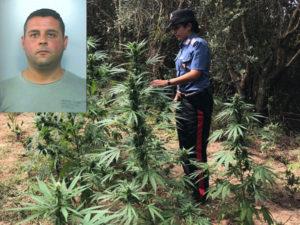 Droga: sorpreso a coltivare canapa indiana a Candidoni, arrestato