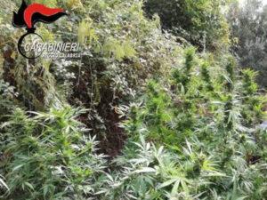 Droga:scoperta piantagione di marjuana a Cardeto