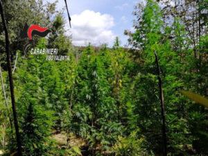 Droga: Vibonese terra di 'canapa', scoperta una nuova piantagione