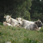 "'Ndrangheta: sei ""vacche sacre"" abbattute nel Reggino"