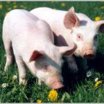 Zootecnia: Calabria indenne da Mvs, soddisfazione Assica