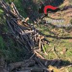 Abbatte alberi senza autorizzazione, arrestato a Serra San Bruno