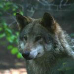 Parco nazionale Sila e Legambiente insieme per salvaguardia lupo
