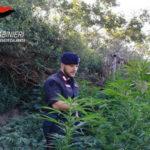 Droga: prima piantagione dell'anno scoperta nel Reggino