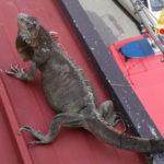 Lamezia: Iguana esce da teca,  recuperata dai Vigili del Fuoco