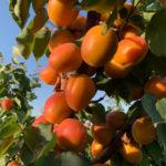 Coldiretti: allarme per i prezzi bassi produzione frutta