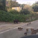 Aggredito da cinghiale dopo incidente, in Calabria è emergenza