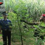 Droga: coltiva  canapa indica 56enne arrestato nel Reggino