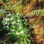 Droga: piantagione canapa indiana scoperta e distrutta nel Reggino