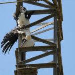 Trovata carcassa Cicogna bianca su un traliccio a Tarsia