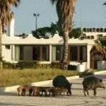 Cinghiali sul lungomare a Soverato, turisti e residenti stupiti
