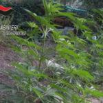 Droga: coltivavano canapa indiana, 2 fratelli arrestati nel Reggino