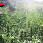 Droga: piantagione canapa indiana rinvenuta e distrutta nel Reggino