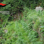 Coltivavano 600 piante di canapa sull'Aspromonte: due arresti