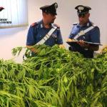 "Sorpresi a coltivare una piantagione di ""marijuana"", arrestati"