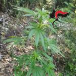 Droga: piantagione canapa indiana rinvenuta e distrutta nel Vibonese