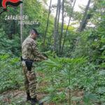 Droga: coltivavano marijuana, due arresti nel Vibonese