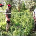 Droga: coltivano 3200 piante marijuana, 4 arresti in Calabria