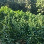 Droga: 7mila piante di marijuana sequesrate, 5 arresti ad Africo