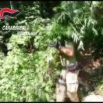 Droga: piantagione di canapa scoperta dai Carabinieri nel Reggino