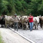 Transumanza, in Calabria tradizione punta al rilancio