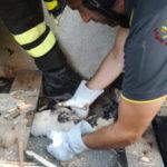 I vigili del fuoco salvano cucciolo incastrato nella legna nel Crotonese
