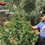 Sorpreso a coltivare droga 30enne arrestato dai Cc nel Reggino