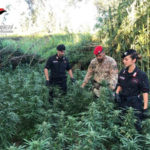 Droga: coltivano canapa indiana, due arresti nel Reggino