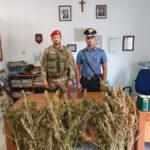 Droga: sequestrata nel Cosentino piantagione marijuana