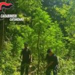Curinga: sorpreso a coltivare droga 48enne arrestato dai Carabinieri