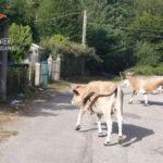 Pascolo abusivo bovini nel Parco d'Aspromonte, una denuncia