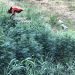 Droga: Sequestrate piantagioni canapa e pistola nel Catanzarese